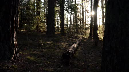 komar : Sunny morning in the forest. Pine log on the moss