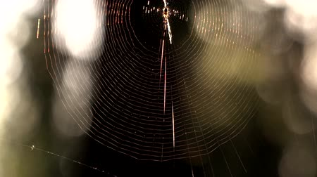 intricacy : Spider web in the forest. Early morning