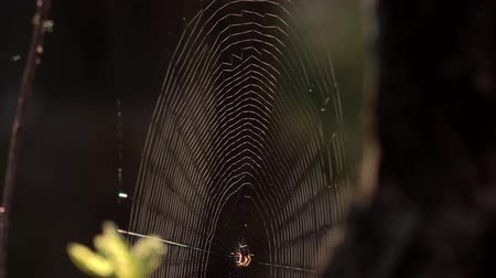 intricacy : Spider web in the forest. Early morning. Close up.