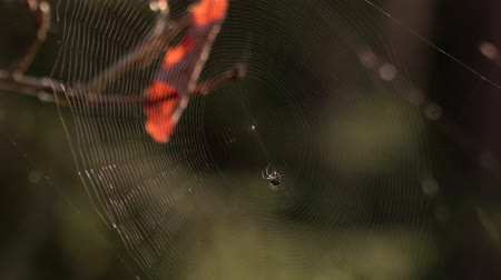 intricacy : Spider web in the forest. Close up. Stock Footage