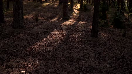 fireflies : Pine forest in the sunny morning