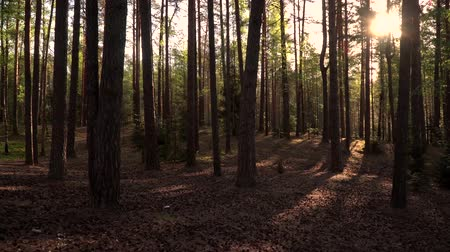 fireflies : Beatifull pine forest in the sunny morning