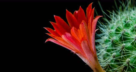 kaktusz : Red cactus flower simultaneously blooming on black background, 4K 4096x2160 time lapse video