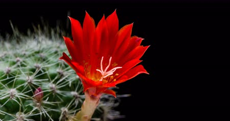 talos : Red cactus flower simultaneously blooming on black background, 4K 4096x2160 time lapse video