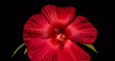 hibiscus : Blooming of hibiscus flower on black background 4K timelapse video