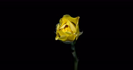 casa : Blooming of yellow rose flower on black background, 4K timelapse video