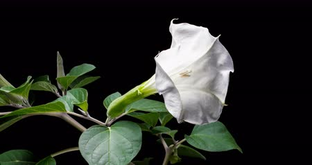 trumpet : Blooming of datura flower, dope, stramonium, thorn-apple, jimsonweed. 4K timelapse video