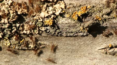 formicidae : Ants on tree bark in garden. Many ants are moving up and down and meeting each other, 1920x1080 HD video Stock Footage
