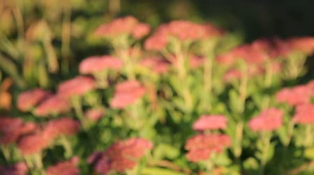 nedvdús : Flowers of stonecrop, lat. Sedum spectabile, swaying in the wind, with a smooth blur of focus