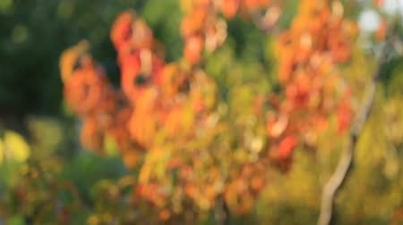 formicidae : The autumn foliage of a peach tree swaying in the wind, with a smooth blur of focus Stock Footage