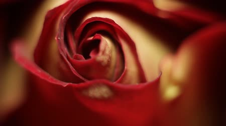 jubileum : Rose close-up, macro-opname Stockvideo