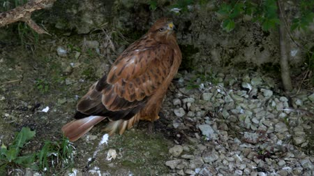 presa : bird of prey buzzard