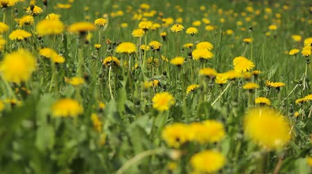 dmuchawiec : Background From Dandelion, Movement of a Camera is Glide, Wideo