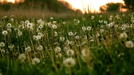 dmuchawiec : dandelion field at sunrise. twilight, dew Wideo