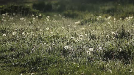 dmuchawiec : dandelion field at sunrise. twilight, dew, frost