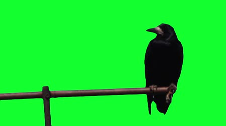 corvo : Crow on a pole on the green screen