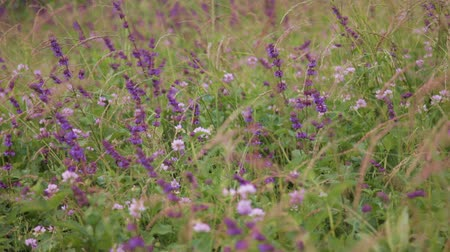 pratensis : Purple salvia in wild meadow with a bee