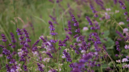 pratensis : Purple salvia in wild meadow with a butterfly Stock Footage