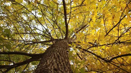 red maple : Trunk of the yellow tree Stock Footage