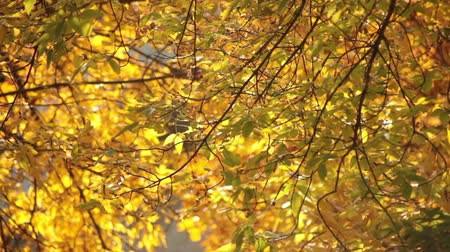 listki : Yellow leaves background