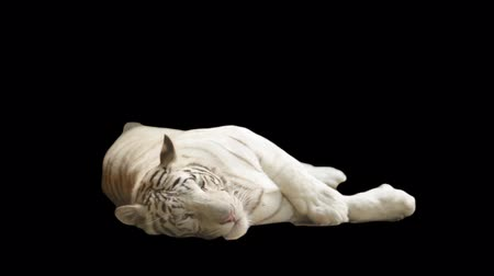 kaplan : white tiger lying on its side on a black background
