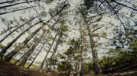 volatile : trees in the pine forest