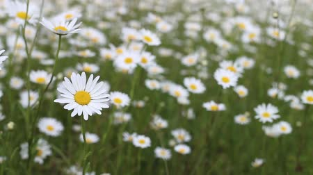 weddings : Summer landscape with camomile flowers over field. Stock Footage