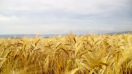 motivo : Yellow wheat field and the blue sky with clouds. Stock Footage