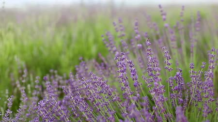 levandule : Lavender flower field, fresh purple aromatic wildflower, macro with soft focus for natural background.