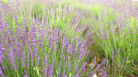 cosecha : Campo de lavanda flor, close-up con desenfoque de fondo natural.
