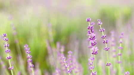 natural tranquil : Lavender flower field, close-up with soft focus for natural background.