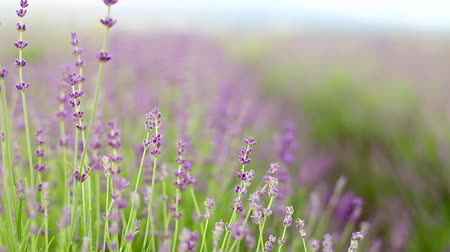 aromaterapia : Lavender flower field, fresh purple aromatic wildflower, macro with soft focus for natural background.