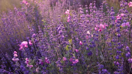 cor de malva : Branches of flowering lavender on sunset rays.