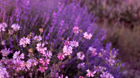 aromaterapia : Bushes of flowering lavender on the field.