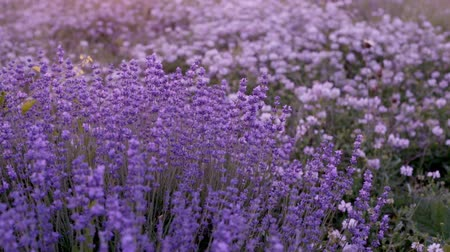 cor de malva : Bushes of flowering lavender on the field.