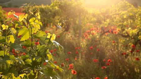 winnica : Sunset light with red poppies in a vineyard in Crimea region.