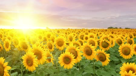 журнал : Blooming sunflowers over the sunset sky background. Стоковые видеозаписи