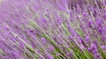 táj : Lavender bushes closeup. Provence region of france.