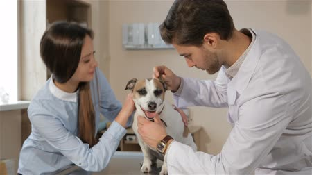 cooperative work : Young male vet checking up the dog at the veterinarian clinic. Brunette male veterinarian look into dogs ear. Attractive caucasian girl pacifying her Jack Russel Terier at the vet clinic