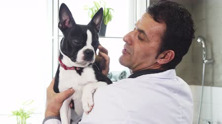 Бостон : Close up of a handsome mature male professional vet holding adorable Boston Terrier dog petting him love affection friend happiness job occupation profession lifestyle medicine clinic animals.