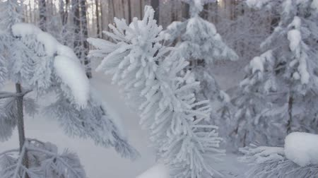 branquear : Spruce branch in hoarfrost at winter forest. Closeup shot