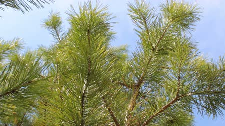 pinho : Branches of green pine tree background blue sky clouds
