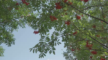 sorbus : Autumn rowan tree branches in the wind Stock Footage