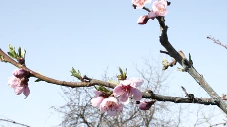 marchs financiers : Flowering fruit trees. Apricot. Plum. Peach. Stock Footage