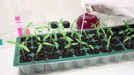 holding steady : Work with the plants in the laboratory. Fertilizing seedlings of tomato nutrient liquid in the laboratory.