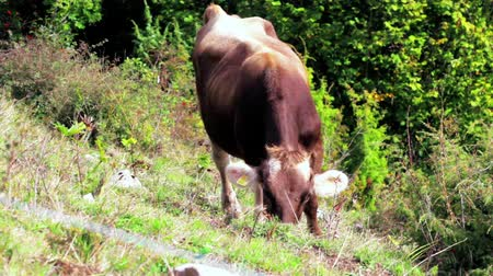 düve : One brown cow with visible ear identification tags grazing in mountain meadow at sunny day. Beast eating green grass and herb at Alps eco-friendly dairy. Beef cattle on cows ranch. Husbandry. Heifer Stok Video