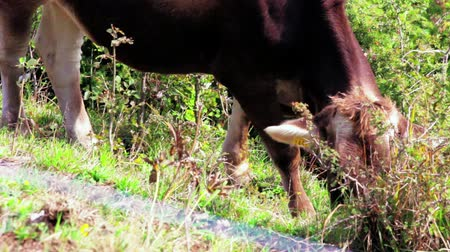 chovat : One brown cow with visible ear identification tags grazing in mountain meadow at sunny day. Calf eating green grass and herb at eco-friendly dairy in Alps. Beef cattle farm. Raise for beef consumption Dostupné videozáznamy