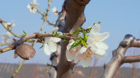 érettség : Blooming white almond flowers and nut, ripeness and freshness concept, dew of youth and maturity of oldness, old and new. Close-up of spring almond tree in orchard. Fresh bloom flower branch of fruit tree