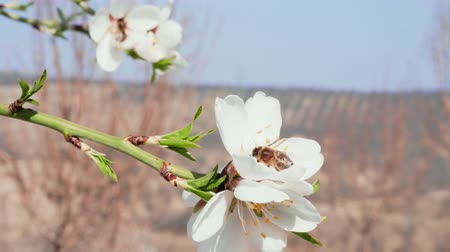 опылять : Bee pollinating blossom almond white flower in blooming orchard, closeup. Springtime concept. Insects gathering pollen for honey. Honey-bee collecting nectar of pollen on blooming almond tree. Spring