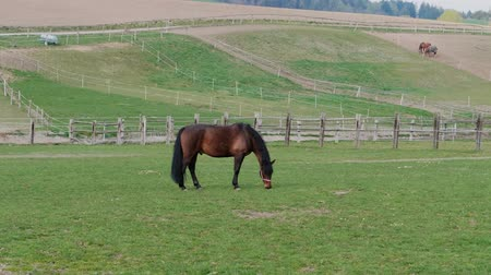 horse breeding : Brown grazing horse near fences on horse farm at warm spring day. Horses eating green grass in country landscape. Young horse grazed on meadow. Domestic animals on pastures. Horses feeding on ranch Stock Footage